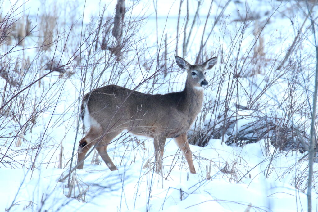 "David Forsyth ""White-tailed Deer"""